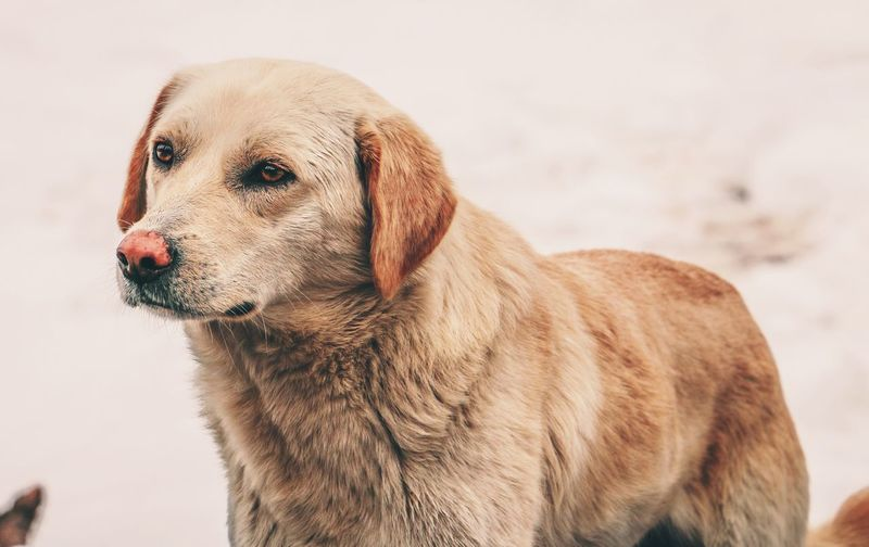 Snow Dog Pets Domestic Animals One Animal Mammal Animal Themes Puppy No People Outdoors Day Close-up