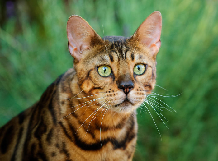 Bengal cat outdoor portrait One Animal Cat Feline Animal Themes Animal Pets Domestic Animals Domestic Cat Domestic Close-up No People Day Tabby Animal Head  Portrait Whisker Bengal Bengal Cat Outdoors