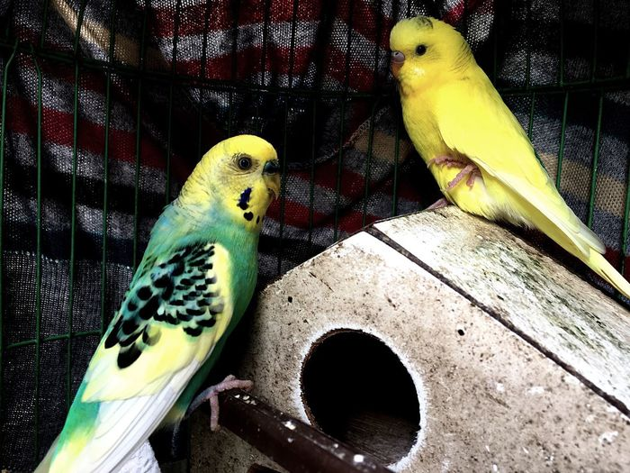 Parrot Bird Parakeet Perching Budgerigar Cage Birdcage One Animal Nature Yellow Animal Themes Animals In Captivity Animal Wildlife Animals In The Wild Pets Trapped Indoors  No People Close-up Day
