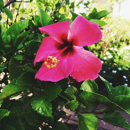 Hibiscus 🌺 Flowers Summer Morning