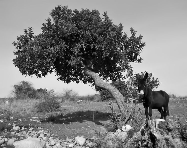 Donkey tied to tree Donkey, Animal Themes Clear Sky Day Domestic Animals Field Growth Horse Livestock Mammal Nature No People One Animal Outdoors Sky Tree