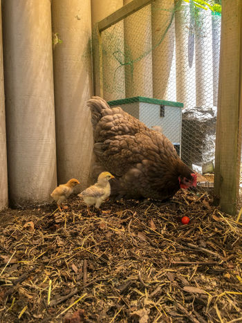 Mother hen with her baby chicks. Chicks Chicks And Hens Mother Mother Hen Animal Themes Bird Chicken - Bird Chicken Coup Day Domestic Animals Feather  Hen Livestock Mammal Mother Hen And Chicks Nature No People Outdoors Young Animal Young Bird