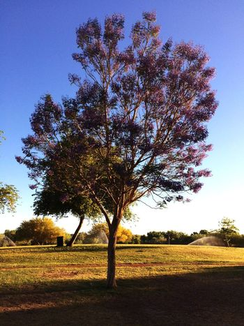 Wow that tree was really showing off it's beautiful purple flowers. Awesome💫 https://paypal.me/pools/c/83C98Mcfza Just Me. Enjoying The View Enjoying The Colours Park Photography IPhone Photography Fun With IPhone Plant Tree Sky Growth Tranquility Beauty In Nature Field Nature Tranquil Scene No People Landscape Outdoors Clear Sky Sunlight