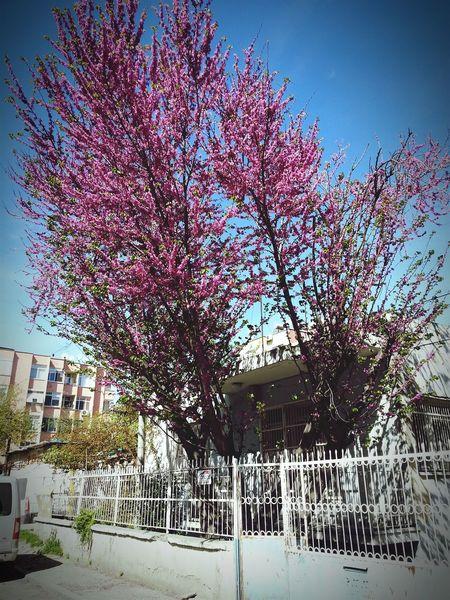 Yüzme havuzu yakınlarında Trees Tree Blossom Erguvan / Judas Tree Erguvan adana Whilewalking