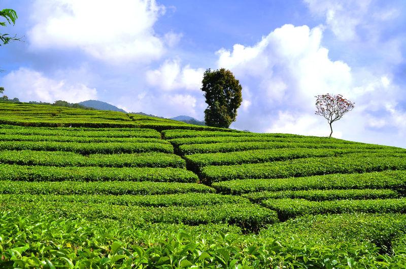 Views of tea