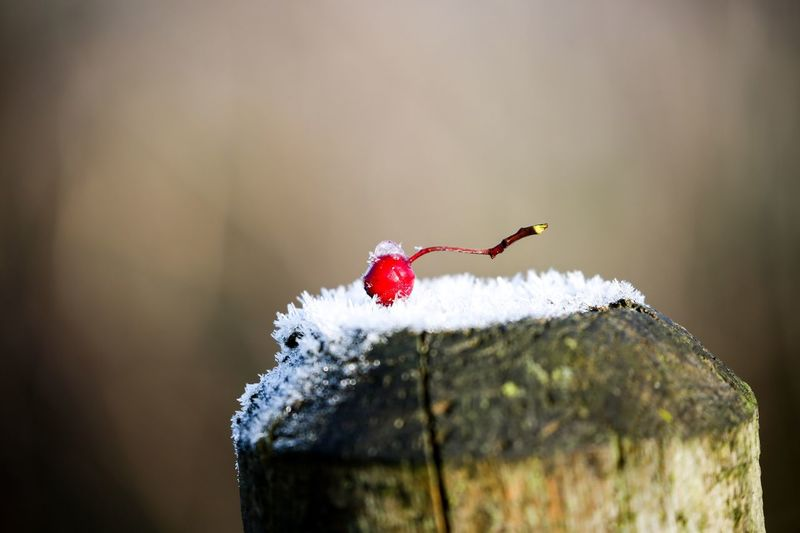 It's berry cold. Post Hawthorn Berry Fruit Frost EyeEm Selects Close-up Cold Temperature Winter Day No People Focus On Foreground Red Nature Fruit Plant Selective Focus Outdoors Beauty In Nature