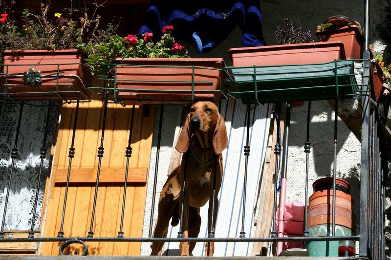 Dog On Balcony