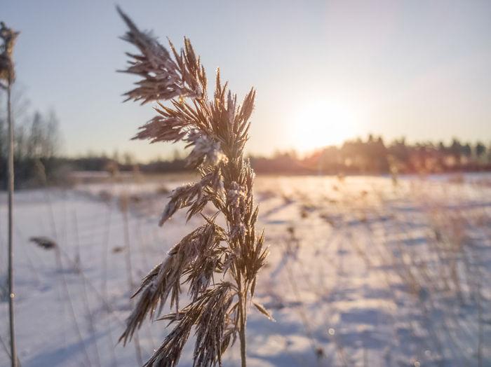 Frozen Reeds in