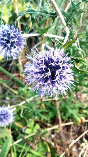 A Pritty Shot of a Purple Blue Pompom looking Flower with a Green Leafy Background . Featuring Nature Plant Fragility Beauty In Nature Outdoors Day No People Growth Flower Head Close-up Freshness Focus On Foreground Beauty In Nature Striking Leaf Growth Petal