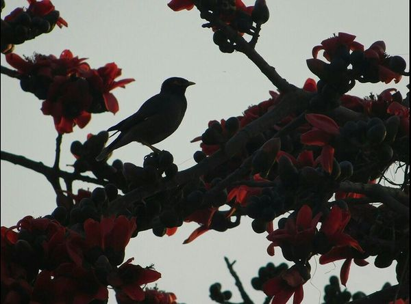 Wildlife Photography Birds Flowers Showcase March Beautiful Nature Perfect Timing Animal Theme Wildlife & Nature Wildlifephotography Birds Theme Birds In Wild Nature Photos Nature_collection Spring Has Arrived Nature Photography Spring Cute Flower Blossom Plants Trick Photography Maina Bird Watching Little Bird