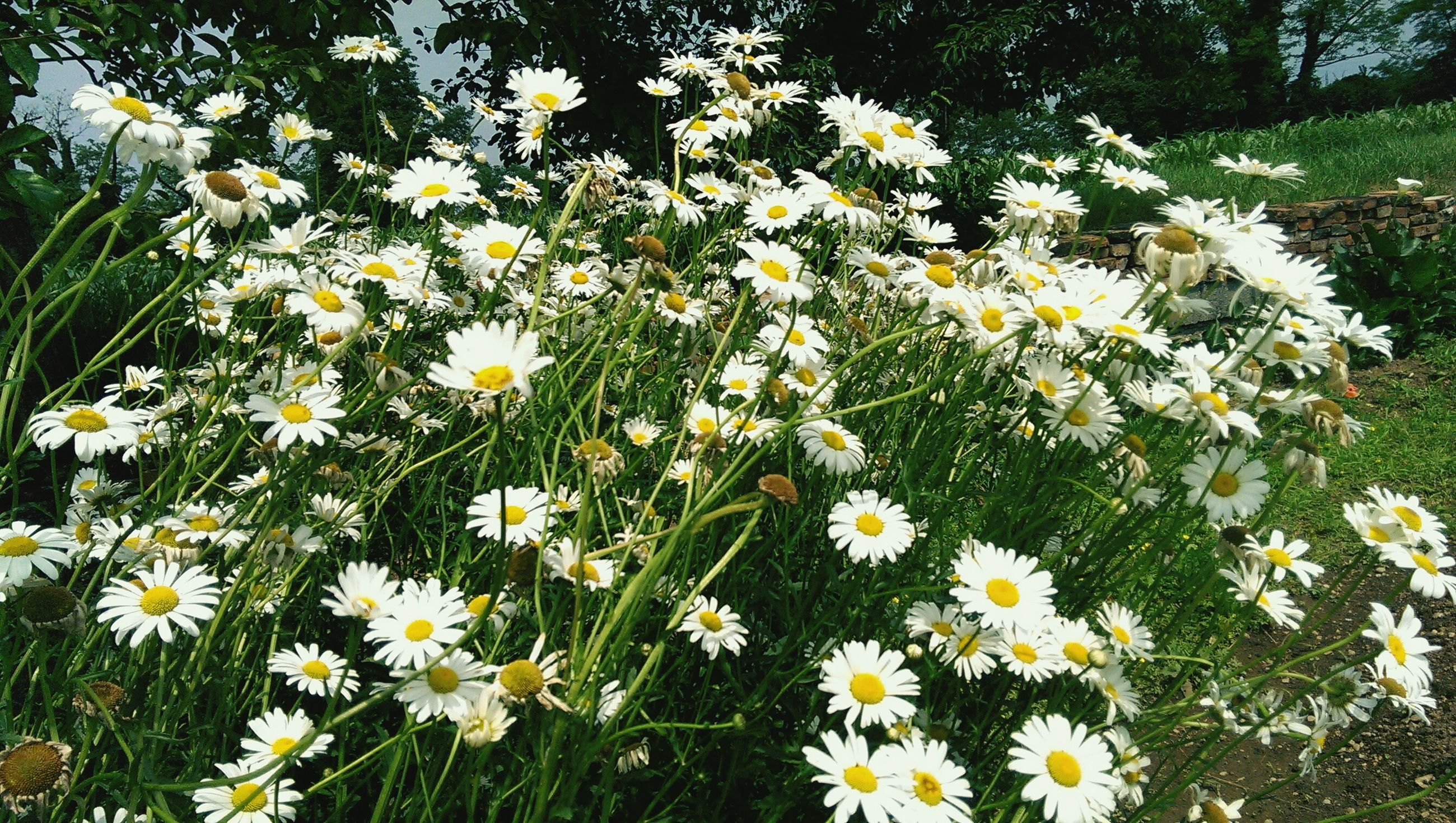 flower, freshness, fragility, petal, growth, daisy, white color, beauty in nature, flower head, blooming, yellow, plant, nature, field, high angle view, in bloom, wildflower, blossom, stem, pollen