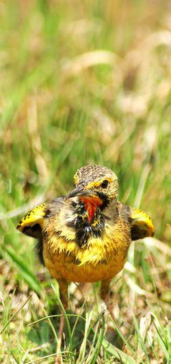 Perching Yellow Close-up Animal Themes Plant Grass