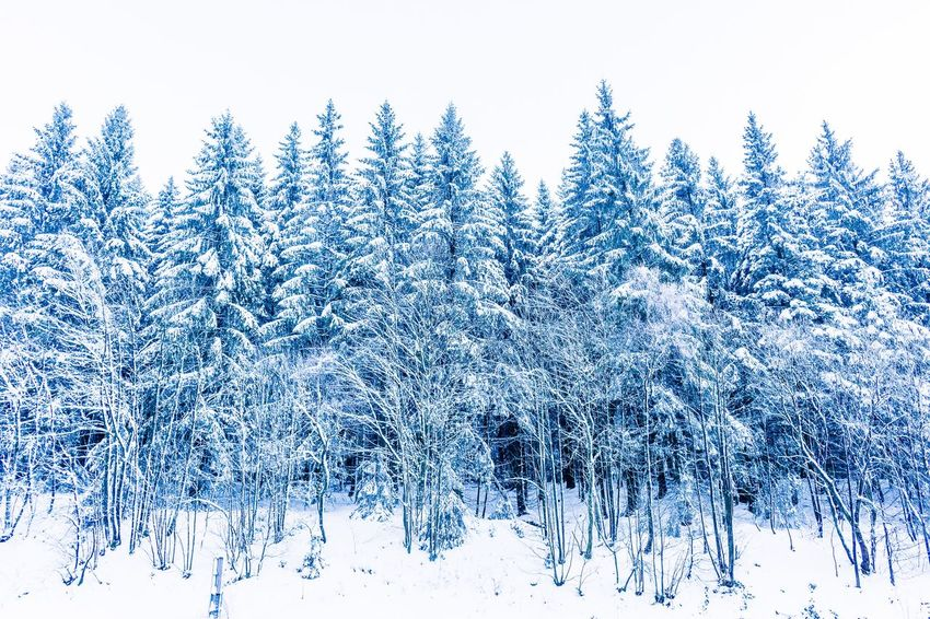 Winter trees. Cold Temperature Snow Winter Nature Tranquil Scene Beauty In Nature White Color Tree Frozen Blue Scenics Landscape Pine Tree No People Forest Outdoors Tranquility Day Freshness Spruce Tree Shades Of Winter