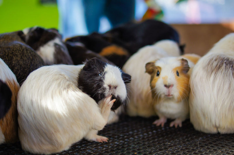 Close-up of guinea pigs