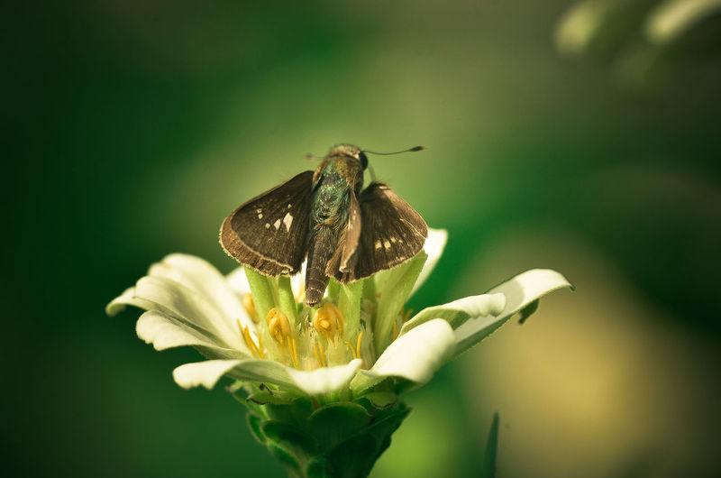 Close-up of moth on white flower