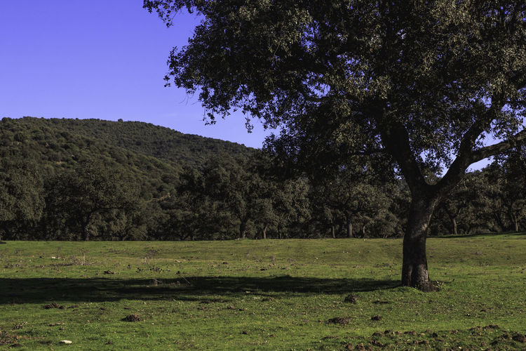 The holm oak Clear Sky Ilex Beauty In Nature Clear Sky Day Evergreen Leaves Field Grass Green Color Growth Holm Oak Landscape Leaves Nature No People Outdoors Scenics Shadows Sky Tranquil Scene Tranquility Tree Trunk Tree