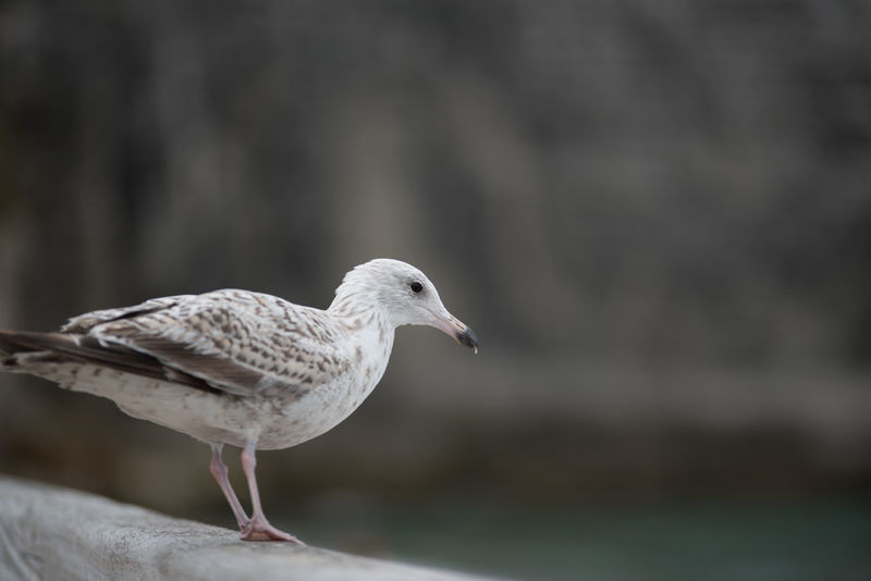 Normandie France Normandie, France Animal Themes Animal Wildlife Animals In The Wild Beak Bird Close-up Day Deauvillebeach Focus On Foreground Hoffi99 Nature No People One Animal Outdoors Perching Seagull