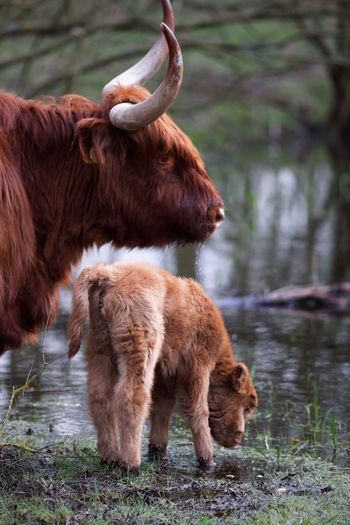 Cow Standing With Calf By Lake
