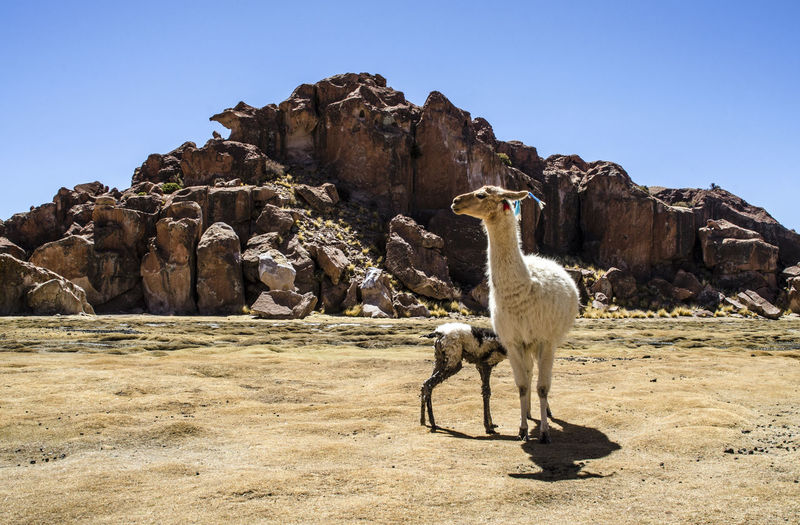 Bolivia Love Maternity Mother Nature Animal Animal Themes Animal Wildlife Bonding Clear Sky Land Mammal Mountains Outdoors Pets Rock South America