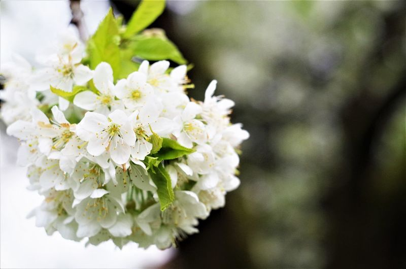 garden flower Beauty In Nature Blooming Blossom Close-up Day Flower Flower Head Focus On Foreground Fragility Freshness Growth Nature No People Outdoors Petal White Color
