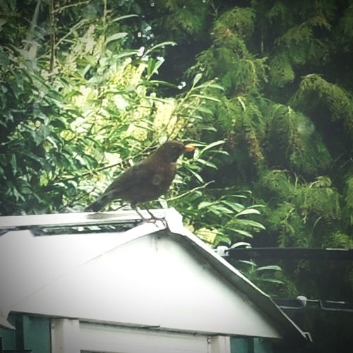 Blackbird Mylittlefriend female blackbird comes to my house daily to steal the cats food