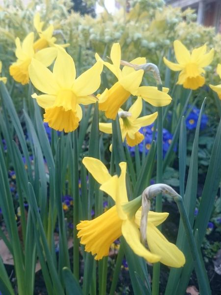 Beauty In Nature Botany Close-up Crocus Daffodil Day Field Flower Flower Head Flowerbed Flowering Plant Fragility Freshness Growth Inflorescence Land Nature No People Petal Plant Springtime Vulnerability  Yellow