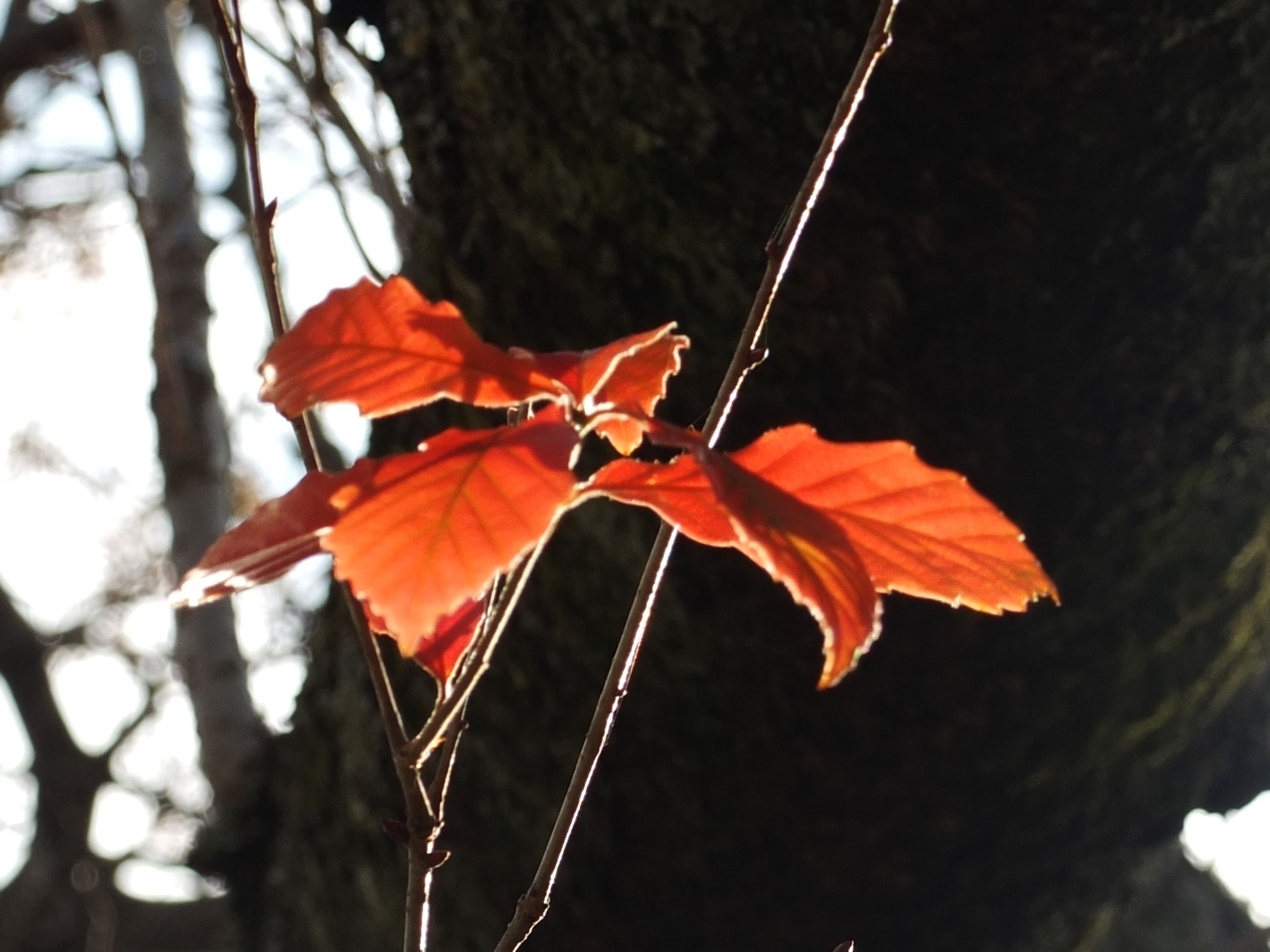 leaf, autumn, leaf vein, change, focus on foreground, maple leaf, close-up, nature, red, orange color, tree, leaves, branch, low angle view, season, natural pattern, beauty in nature, dry, outdoors, day