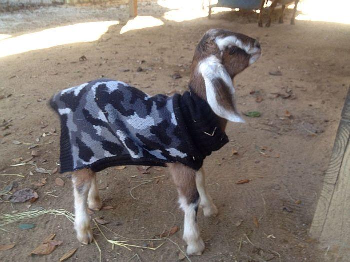 Goatfarm Farmersonly Animal Goat Newborn Lovable Pets! Hello World Cute Pets Animal_collection Animal Photography Babygoat Goat Life Serenitygoats Serenityacres