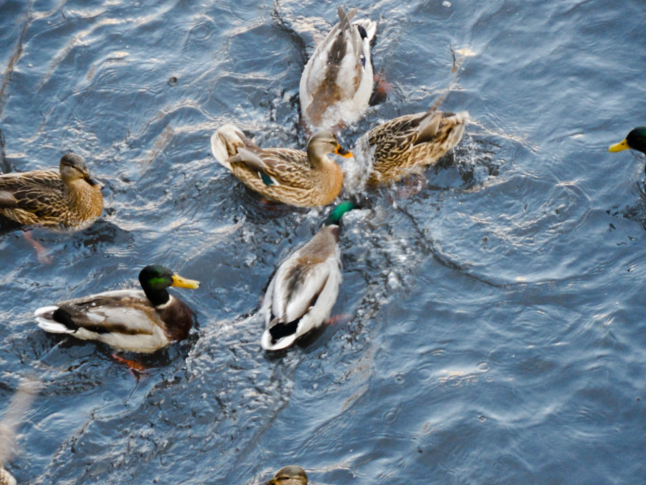 water, swimming, bird, animal themes, animals in the wild, young bird, duck, animal wildlife, lake, waterfront, water bird, young animal, no people, nature, rippled, togetherness, duckling, day, outdoors