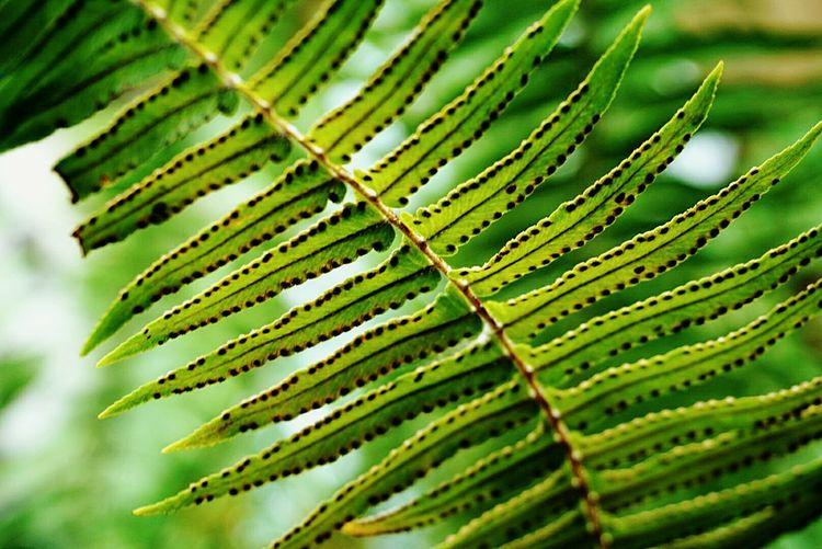 Fernplant Green Leaves Green Plant