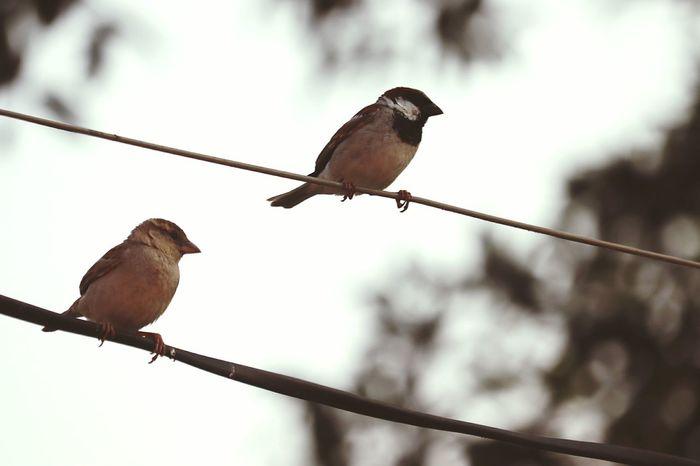 Sparrows Sparrow In A Tree Sparrow! Birds Bird Photography Nature Birds Life Bird Perching Mourning Dove Bird Of Prey Cable Politics And Government Animal Themes