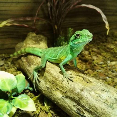 chinese water dragon! Reptile Waterdragon Bright Green Gorgeous Lizard