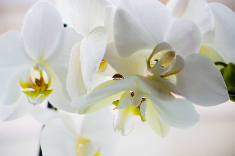 Flower Flowering Plant Fragility Plant Vulnerability  Beauty In Nature Petal Freshness Close-up Growth White Color Inflorescence Flower Head No People Nature Pollen Botany Orchid Springtime Day Softness Bunch Of Flowers Spring