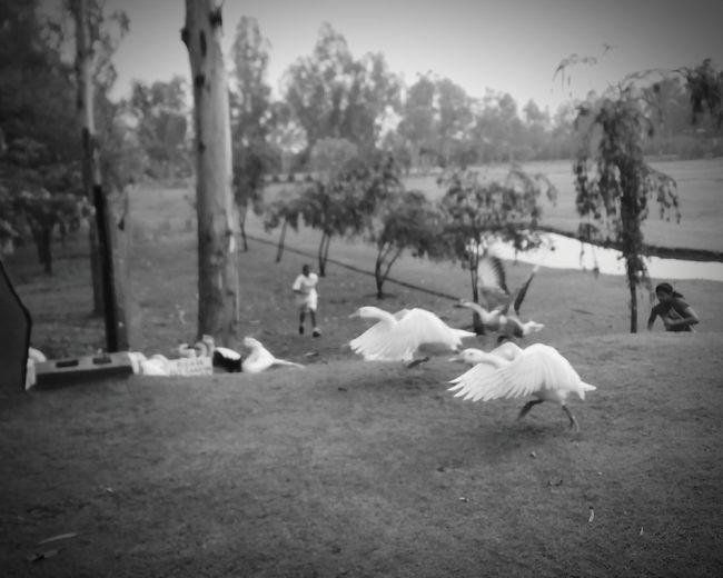Geese... Black And White Photography. Nature. saw these children chasing geese the way they run.. Silly Goose