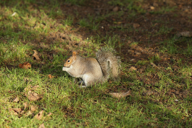 Grey Squirrel Squirrel Sciurus Carolinensis Grey Gray Vermin Grass Eating Classic Pose Mammal Animal Themes Animal One Animal Animal Wildlife Rodent Day Nature