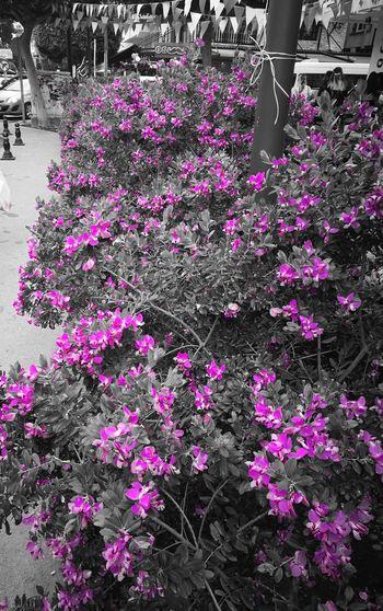 Colorful Colors Flowers Festival Turkey Türkiye Adana First Eyeem Photo Purple Purple Flower Pink Pink Flower 🌸 Thecitylight The Street Photographer - 2017 EyeEm Awards