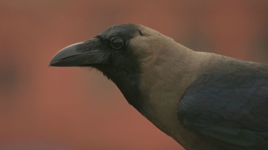 Close-Up Of A Crow