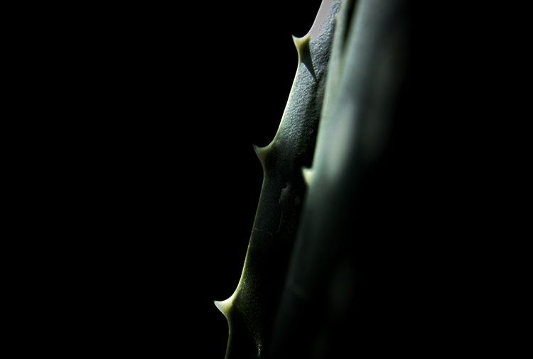 Abstract Aloe Aloe Vera Beauty In Nature Black Background Close-up Freshness Garden Nature Outdoors Plant Shadows & Lights Sun Rays The Healer Thorn
