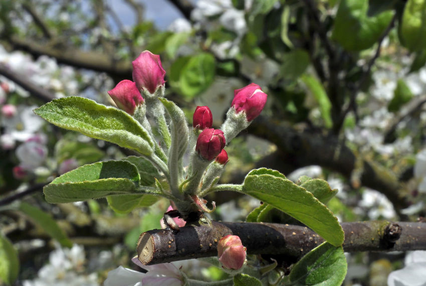 Apple Garden Tree Apple Blossom Apple Tree Apple Trees Garden Beauty In Nature Blossom Branch Close-up Day Freshness Garden Green Color Growth Leaf Nature No People Outdoors Plant Red Tree