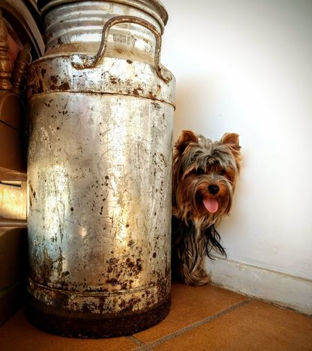 My little dog Vintage Petlovers Eyeem Market Yorkshire EyeEm Selects Pets Dog Jar Animal Themes Close-up Yorkshire Terrier Canine