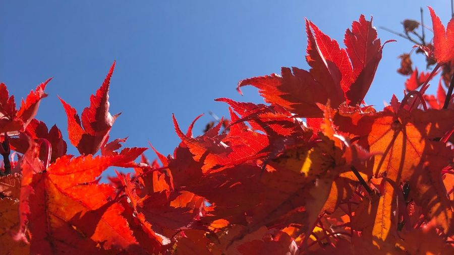 autumn leaves Sky Nature Growth Red Plant No People Beauty In Nature Sunlight Leaf Outdoors Day Clear Sky