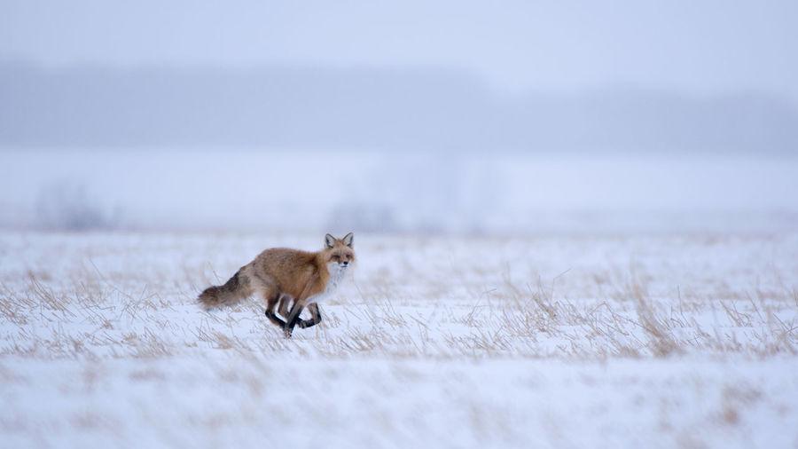 Fox Running On Field