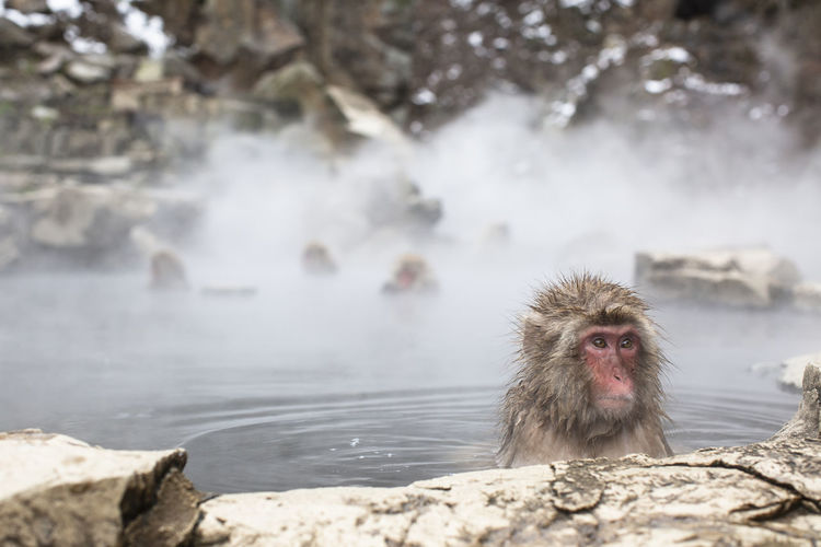 Snow monkey on rock in hot spring water, japan