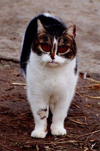 Evil cat Cat Open Edit Animal_collection Animals EyeEm Animal Lover Animal Photography