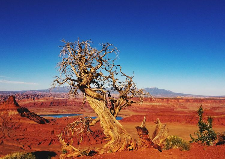 Bare Juniper Tree At Dead Horse Point State Park
