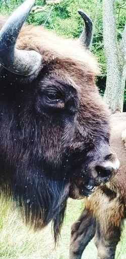 Buffalo Bufalo