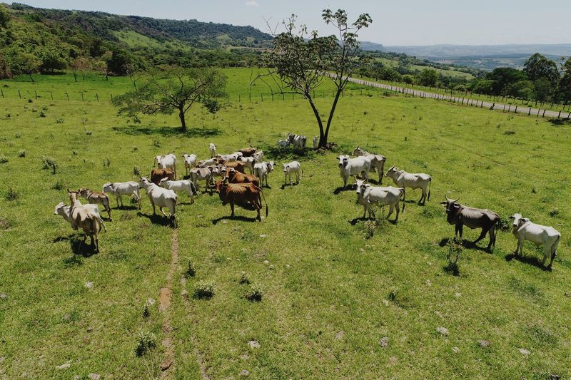 Boiada prestando atenção no drone Drone  Dronephotography Aerial View Aerial Shot Aerial Photography Rural Cow Cows Animal Themes Agriculture Large Group Of Animals Field Green Color Domestic Animals Landscape Nature No People Animals In The Wild Rural Scene Beauty In Nature Sky Outdoors Mammal Day Tree EyeEmNewHere