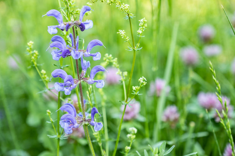 Beauty In Nature Close-up Day Field Flower Flower Head Flowering Plant Fragility Freshness Green Color Growth Inflorescence Land Lavender Nature No People Outdoors Petal Plant Pointed Sage Purple Salvia Pratensis Selective Focus Springtime Vulnerability