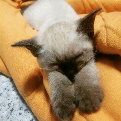 냐옹~~~ 일상 고양이 고냥이 맞팔 팔로우 냥스타그램 냥스타그램이다옹 야옹 샴고양이 소통