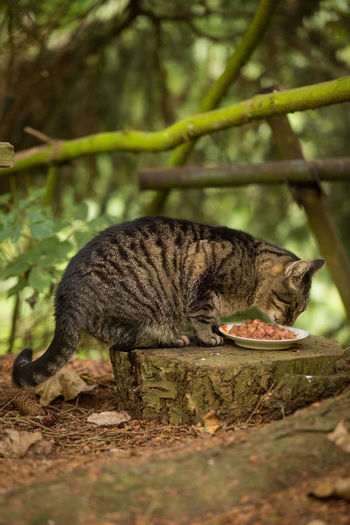 Cat Food Sitting TabbyCat Animal Animal Themes Cat Cat Eating Cat Feeding Cat Outdoors Catfood Domestic Animals Domestic Cat Eating Feeding Cat Feline Nature No People One Animal Outdoors Pets Stray Cat Stump Tabby Tabby Cat Tree Stump